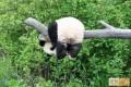 Panda Punya Gaya (Pic)